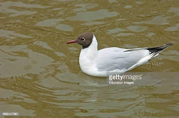 Black Headed Gull Chroicocephalus ridibundus Slimbridge Gloucestershire