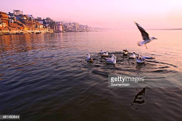 Black headed Gulls - Early morning in Varanasi