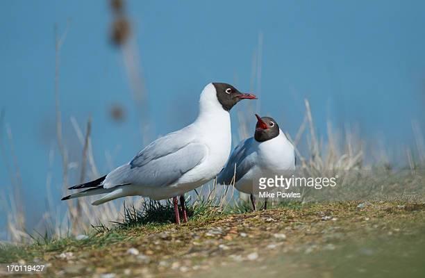 Black headed Gulls, pair near nest site Norfolk UK