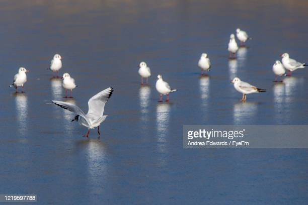 black headed seagulls, chroicocephalus ridibundus, in winter plumage on a frozen lake in winter - st. albans stock pictures, royalty-free photos & images