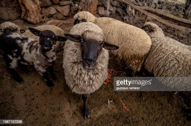 black headed sheep in stable