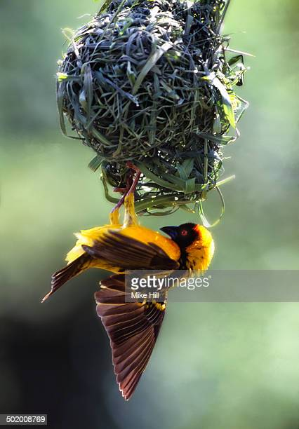 black headed weaver at the nest - making a reservation fotografías e imágenes de stock