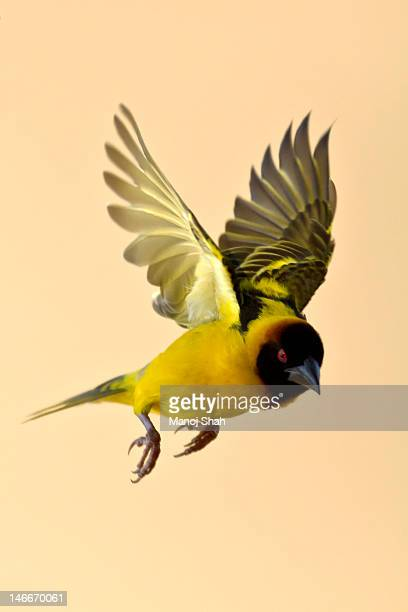 black headed weaver in flight - vogel stock-fotos und bilder