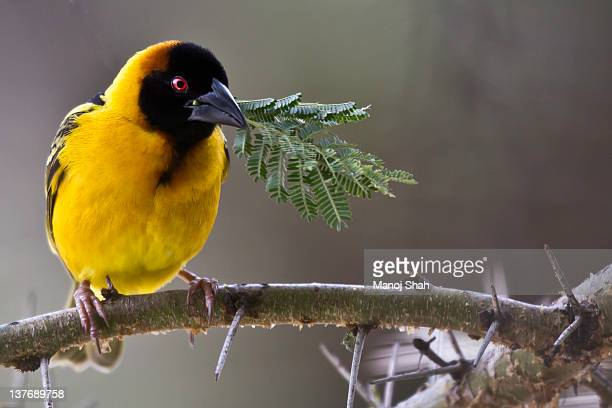 black headed weaver with nest building leaves - くわえる ストックフォトと画像