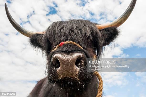 Black highland cattle
