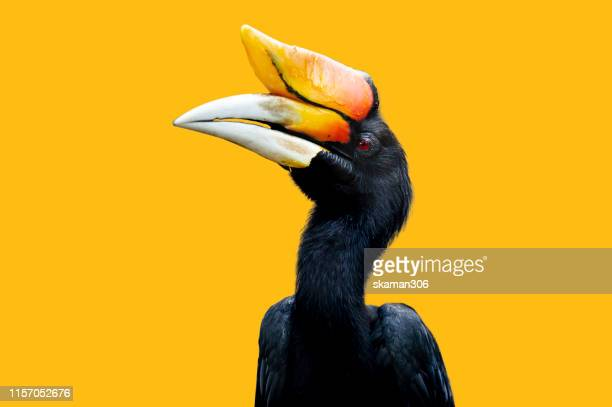 black hornbills isolated with yellow background - oiseau tropical photos et images de collection