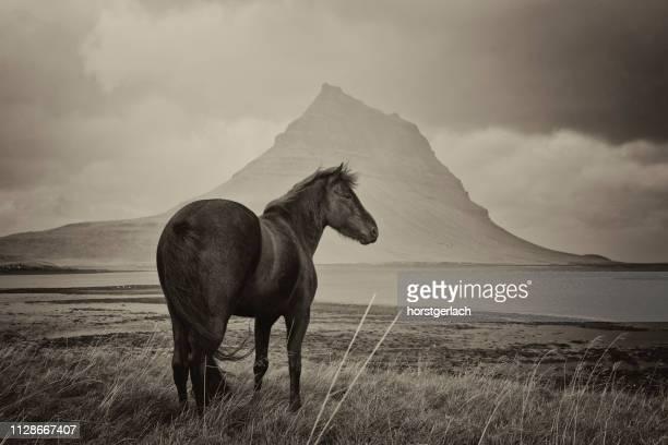 zwarte paard en kirkjufell berg - niet gecultiveerd stockfoto's en -beelden