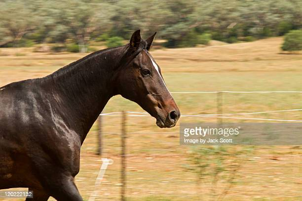 Black horse at speed
