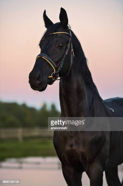 black horse at sunset - thoroughbred horse stock pictures, royalty-free photos & images