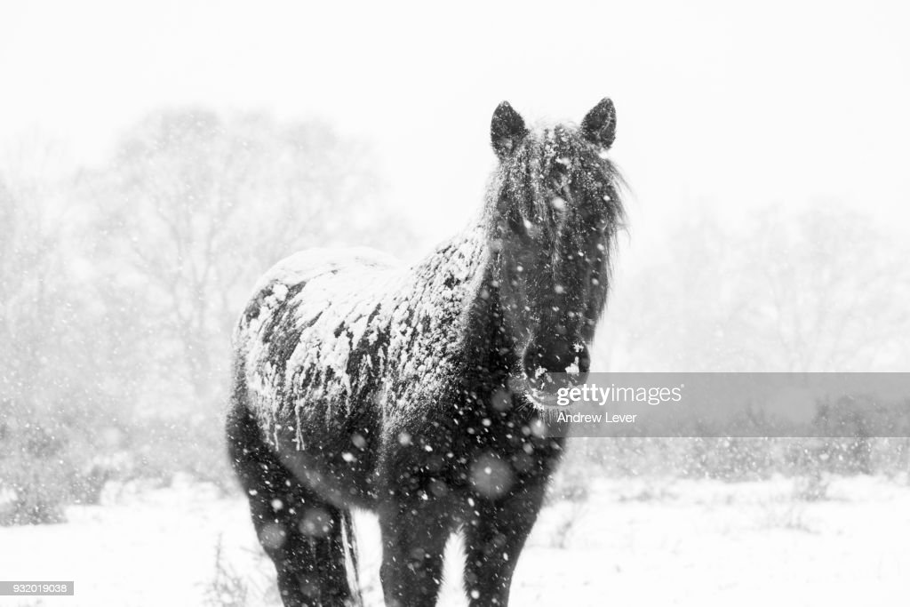 Black Horse Covered In Snow High Res Stock Photo Getty Images