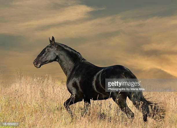 Black horse in sunset