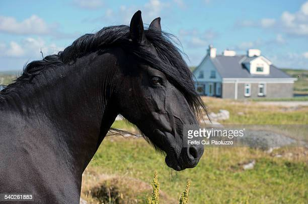 Black horse Oughrus More Galway Ireland