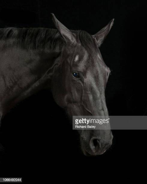 black horse - thoroughbred horse stock pictures, royalty-free photos & images