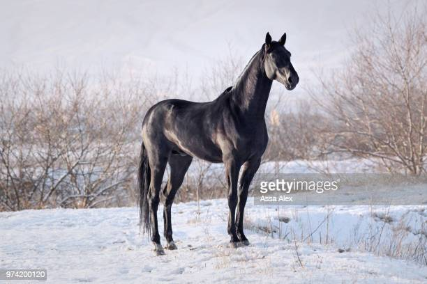 black horse standing in pasture, karachay, russia - cheval photos et images de collection