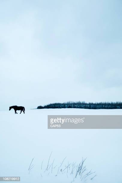 Black Horse Walking Through Winter Field Covered in Snow