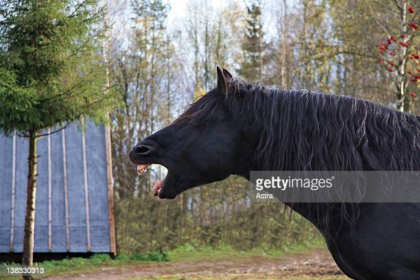 black horse yawning - shire horse stock pictures, royalty-free photos & images