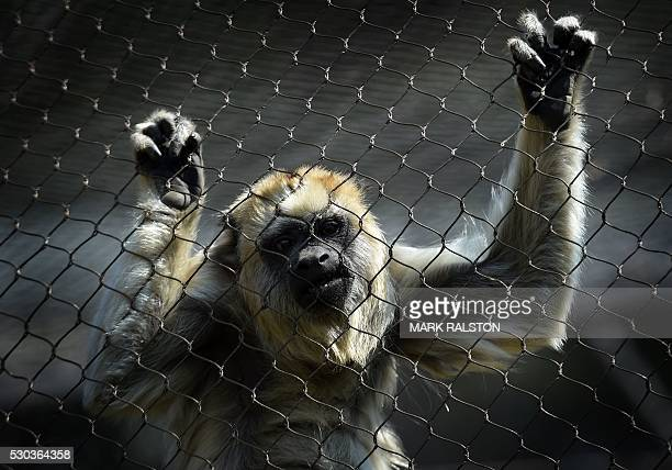 Black Howler Monkey in is seen its enclosure at the Los Angeles Zoo in Los Angeles, California on May 10, 2016. The Black Howler Monkey is native to...