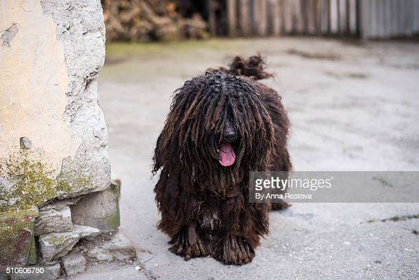 Black Hungarian shepherd puli dog with dreadlocks covering its eyes and tongue stuck out