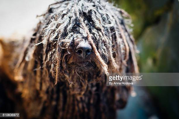 Black Hungarian shepherd puli dog with dreadlocks covering its eyes and glittering nose