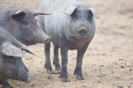 Black Iberian pigs 530377045