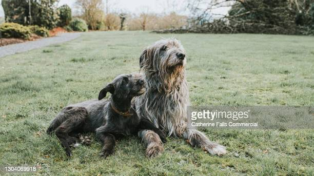 a black irish wolfhound puppy lies beside an adult grey irish wolfhound on grass - animal family stock pictures, royalty-free photos & images