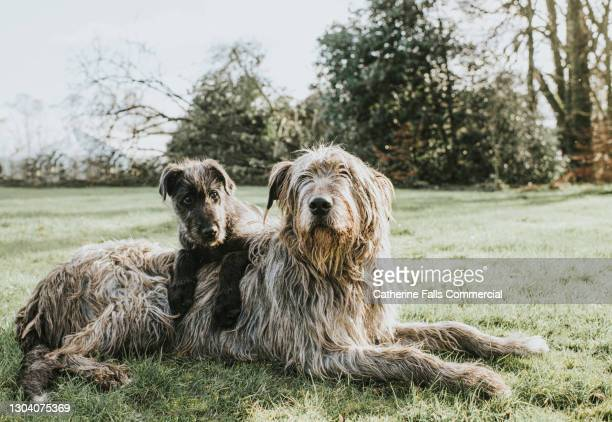 a black irish wolfhound puppy lies on top of an adult grey irish wolfhound on grass - animal family stock pictures, royalty-free photos & images