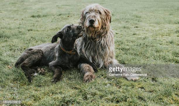 a black irish wolfhound puppy lovingly looks up at an adult grey irish wolfhound while relaxing on grass - animal family stock pictures, royalty-free photos & images
