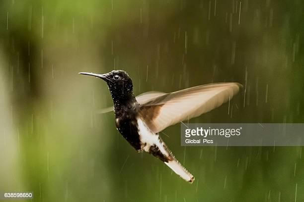 Black jacobin (Florisuga fusca)