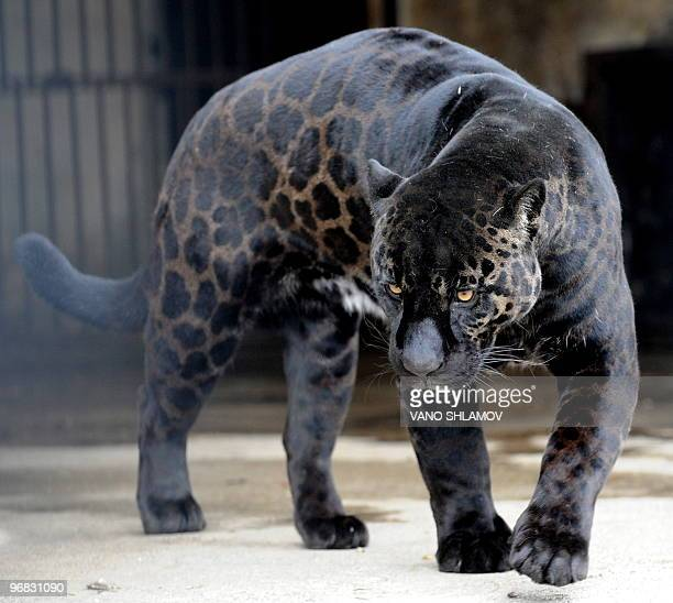 A black jaguar called 'Boogie' walks in his cage at the zoo in Tbilisi on February 10 2010 Black jaguars such as Boogie are found in several South...