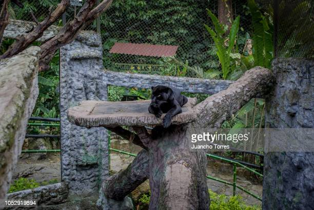 Black Jaguar is seen at Santa Cruz Foundation on October 7 2018 in Bogota Colombia Wildlife Trafficking is now the fourth largest illegal industry in...