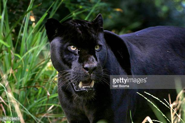 black jaguar killer eyes - jaguar stock photos and pictures
