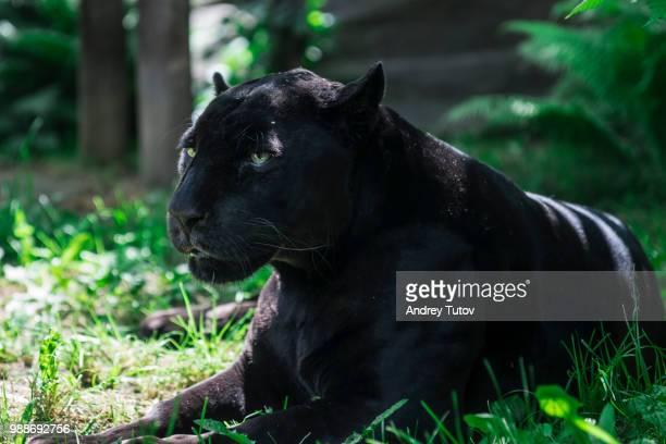 black jaguar (panthera onca) lying on grass, moscow, russia - jaguar stock pictures, royalty-free photos & images