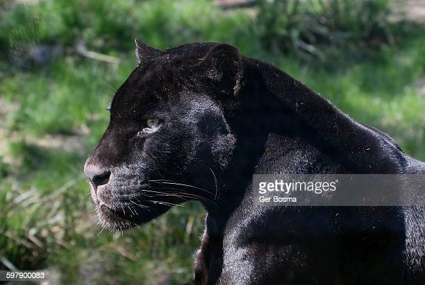 black jaguar male - black panther face stock photos and pictures