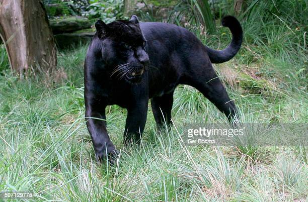 Black Jaguar On The Prowl