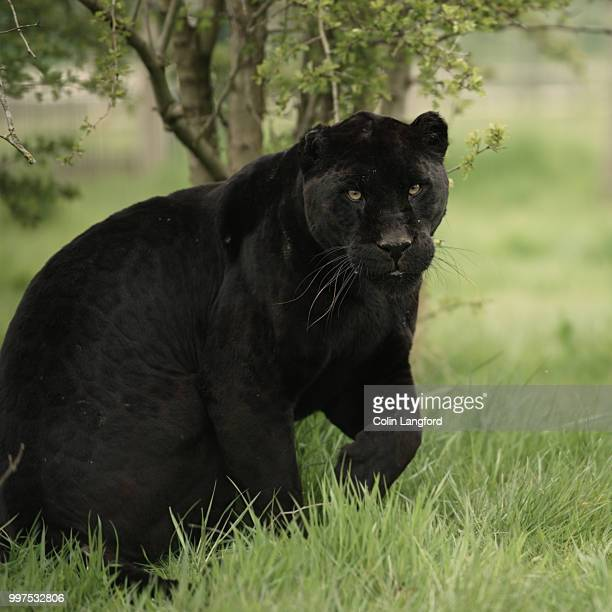 543 Black Jaguar Animal Photos And Premium High Res Pictures Getty Images