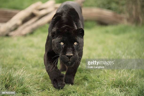 black jaguar - black leopard stock pictures, royalty-free photos & images