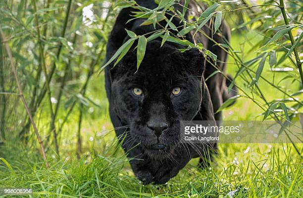 black jaguar series - black leopard stock pictures, royalty-free photos & images