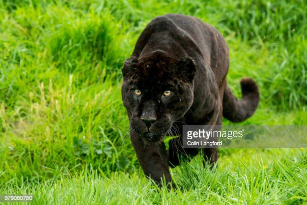 black jaguar (panthera onca) sneaking in green grass - jaguar stock photos and pictures