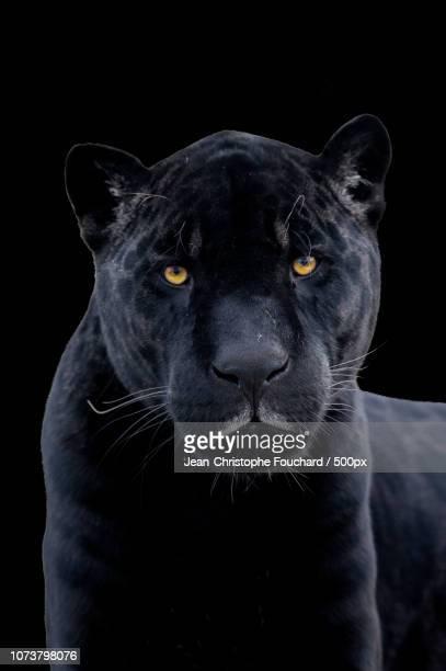 Black jaguar/jaguar noir