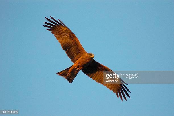 Black kite in flight Ethabuka Reserve northern Simpson Desert/Channel Country southwest Queensland Australia