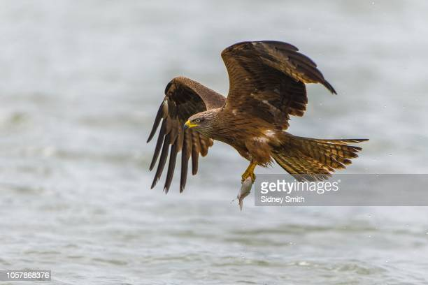 black kite (milvus migrans) in flight with fish as prey, lake malchiner see, mecklenburg-western pomerania, germany - raubvogel stock-fotos und bilder