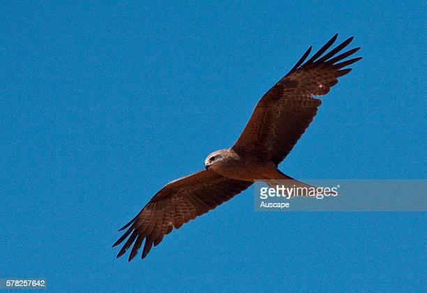 Black kite Milvus migrans hovering Mornington Wildlife Sanctuary central Kimberley Western Australia Australia