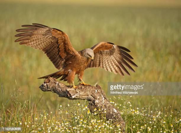 black kite (milvus migrans) - vogel stock pictures, royalty-free photos & images
