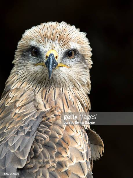 Black kite (Milvus migrans),portrait.   Pyrenees, France.