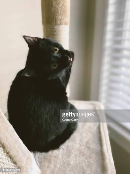 black kitten hangs out in cat condo - cary stockfoto's en -beelden