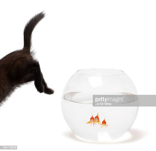 Black kitten jumping over fish bowl