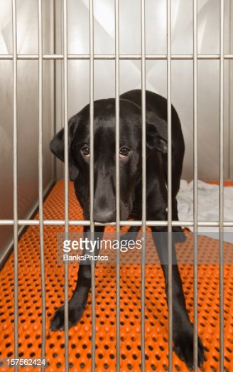 Black Lab In A Kennel Awaits Adoption Stock Photo | Getty Images