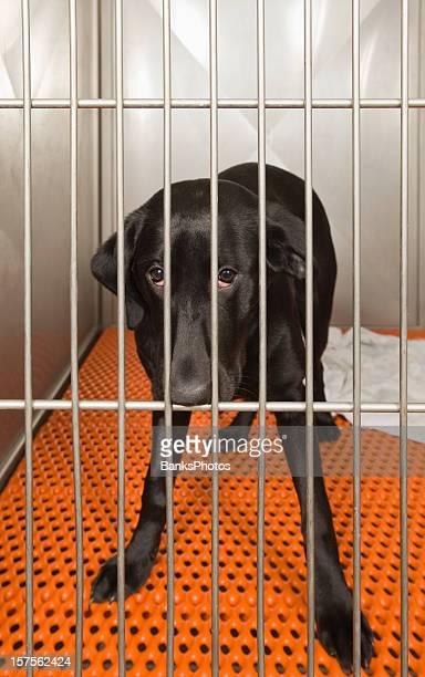 Black Lab in a Kennel Awaits Adoption