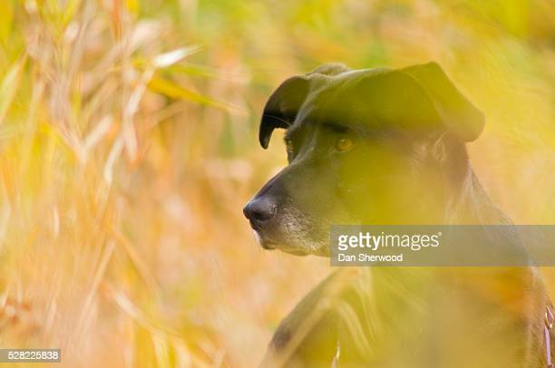 black lab in autumn tall grass - dan sherwood photography stock pictures, royalty-free photos & images