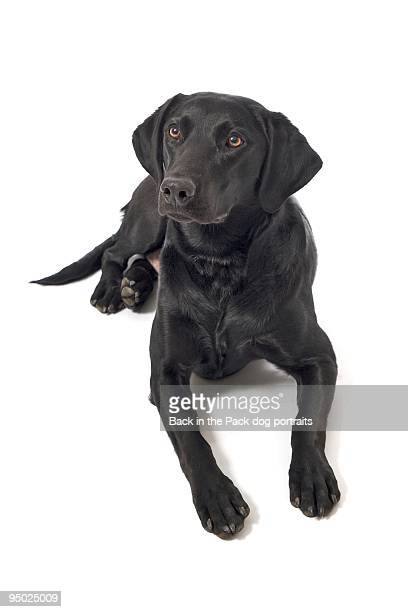 Black lab on white
